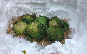 越冬野菜堀り